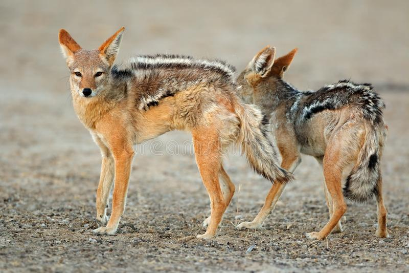 Svart-drog tillbaka sjakaler - Kalahari öken fotografering för bildbyråer