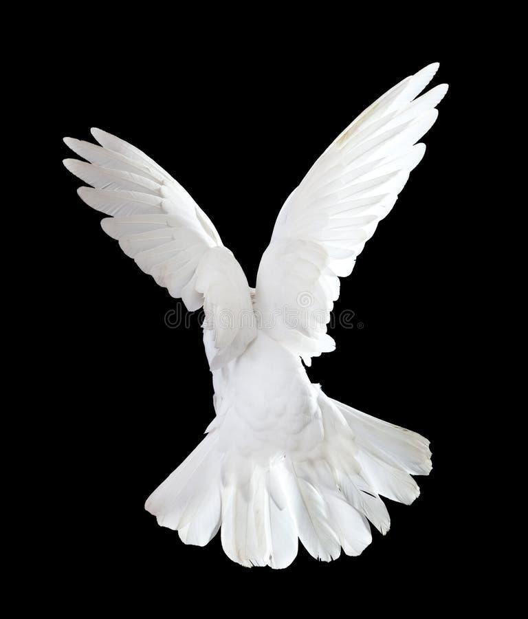 svart duva som flyger fritt isolerad white royaltyfri fotografi