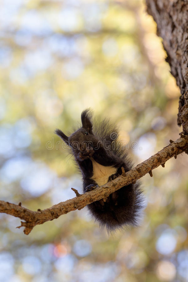 Svart ekorre på ett träd arkivbilder