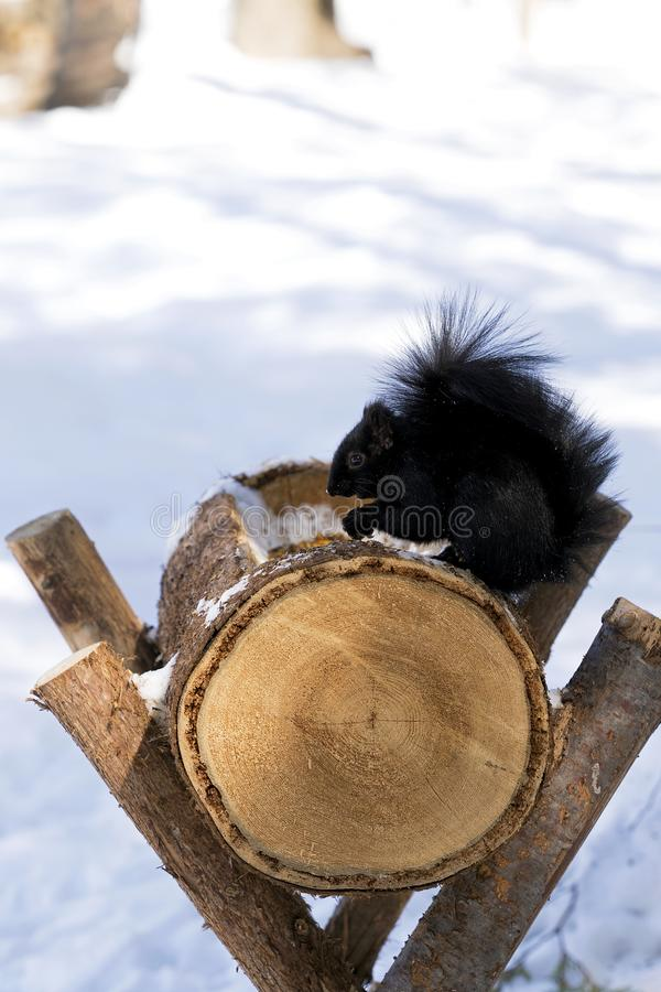 svart ekorrevinter arkivfoto