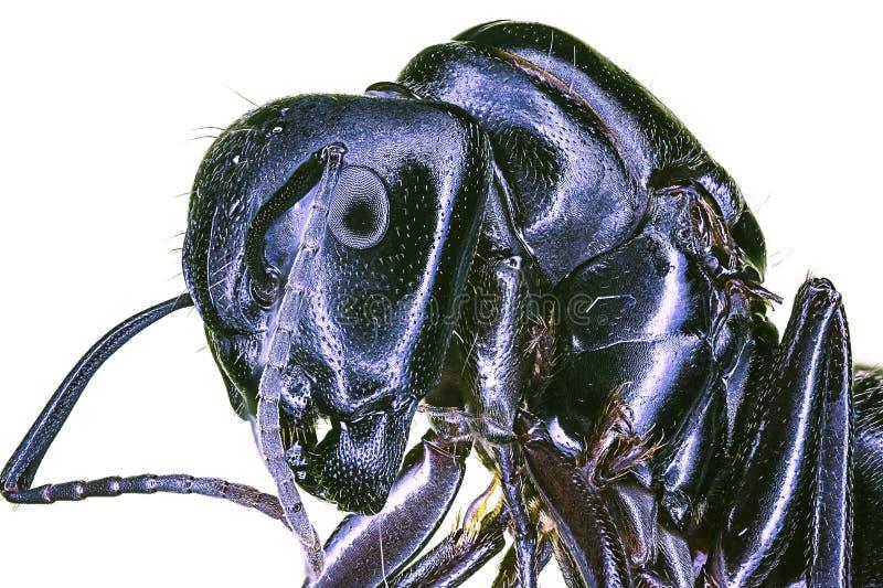 svart extrem jätte- makro för myra arkivbild