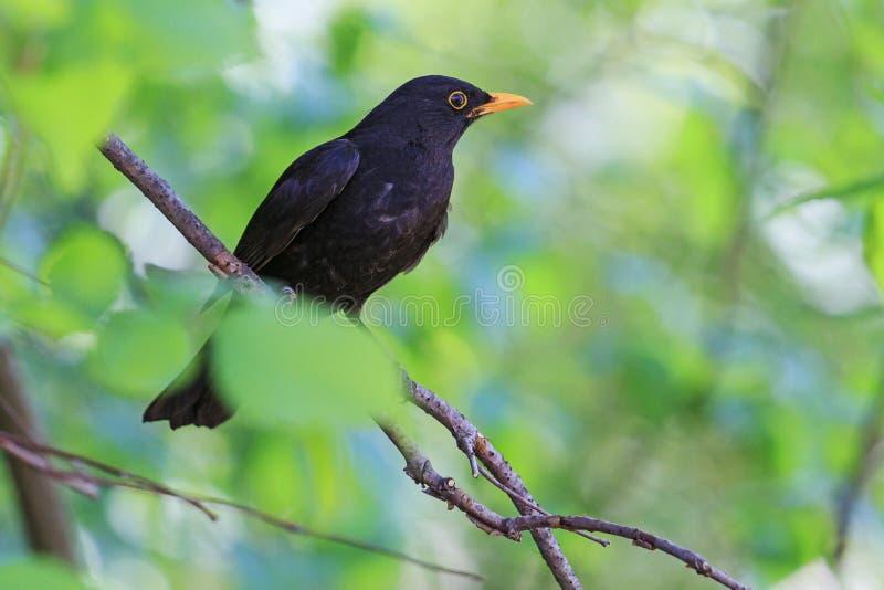 Svart fågel bland gröna sidor arkivfoton