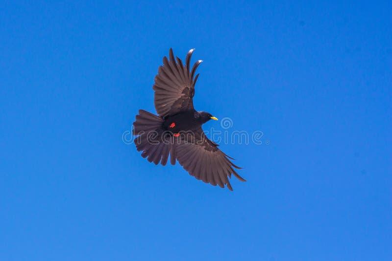 Svart fågel på blå himmel arkivfoton