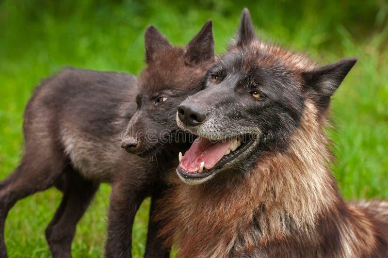 Svart fasGrey Wolf Canis lupus och valphuvud - - huvud arkivbilder