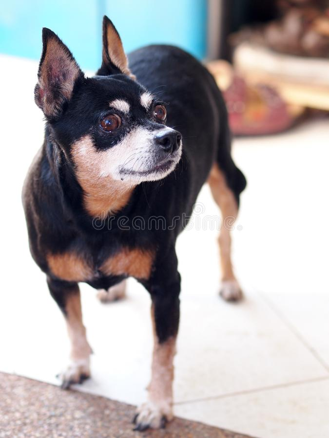 Svart fet älskvärd gullig miniatyrpinscherhund royaltyfri fotografi