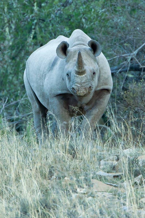 svart fientlig noshörning arkivbild