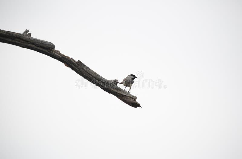 svart filial capped chickadee arkivbild