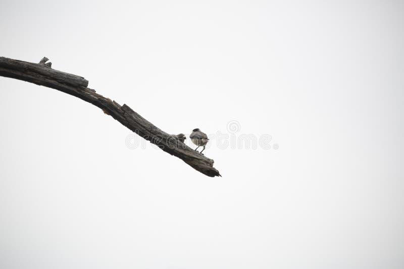 svart filial capped chickadee arkivfoton