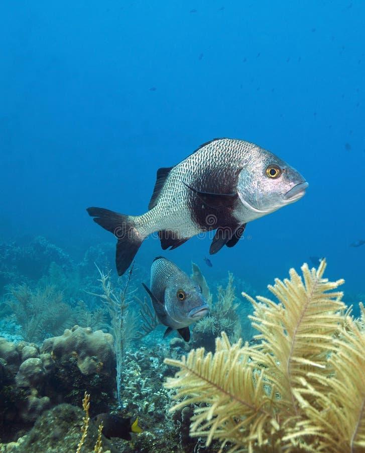 svart fiskmargate royaltyfri foto