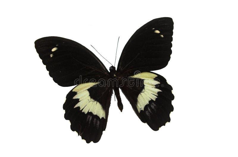 svart fjäril 4 royaltyfria bilder