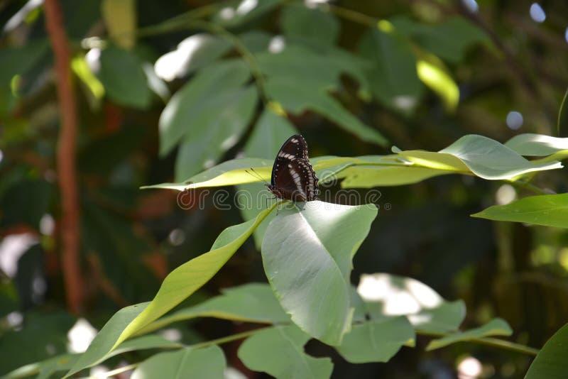 svart fjäril royaltyfri foto