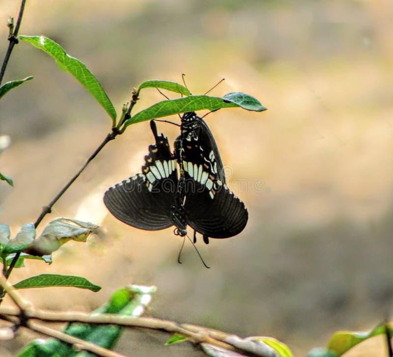 svart fjäril royaltyfri fotografi