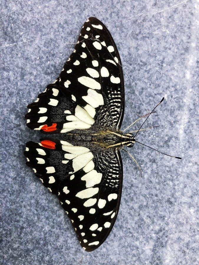 Svart fjärilskryp, härlig vit modell arkivbild