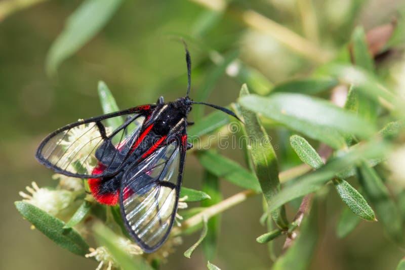 svart fjärilsred arkivfoto