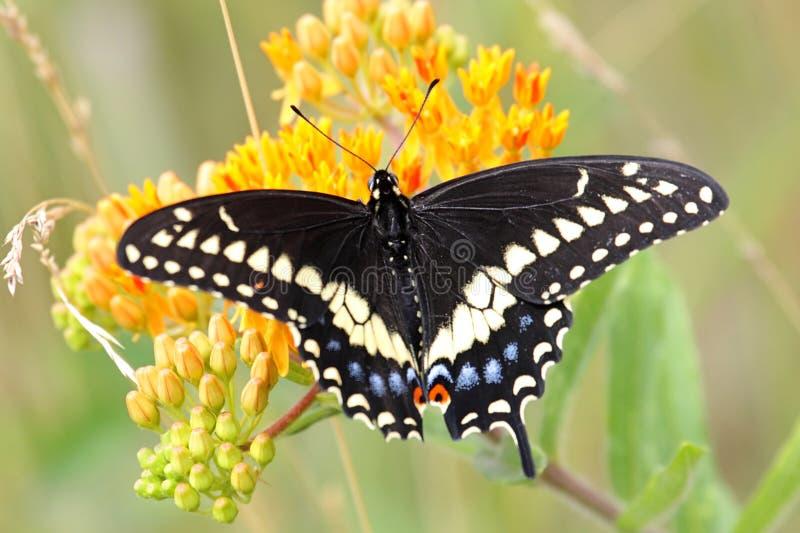 svart fjärilsswallowtail royaltyfria bilder