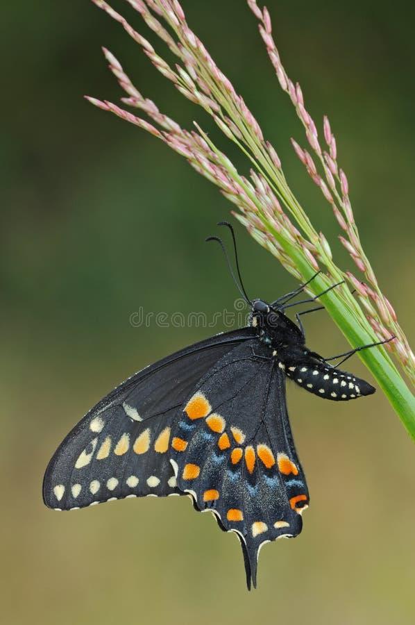 svart fjärilsswallowtail royaltyfri foto