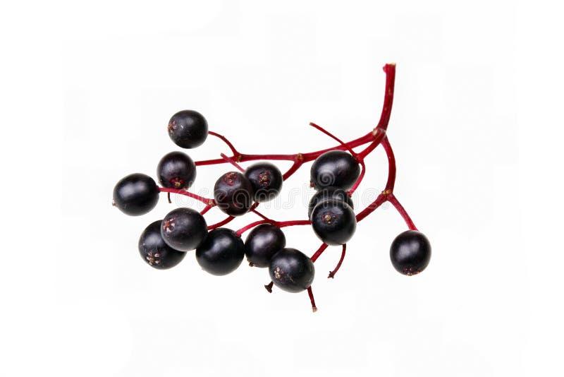 svart fläderbär royaltyfri foto