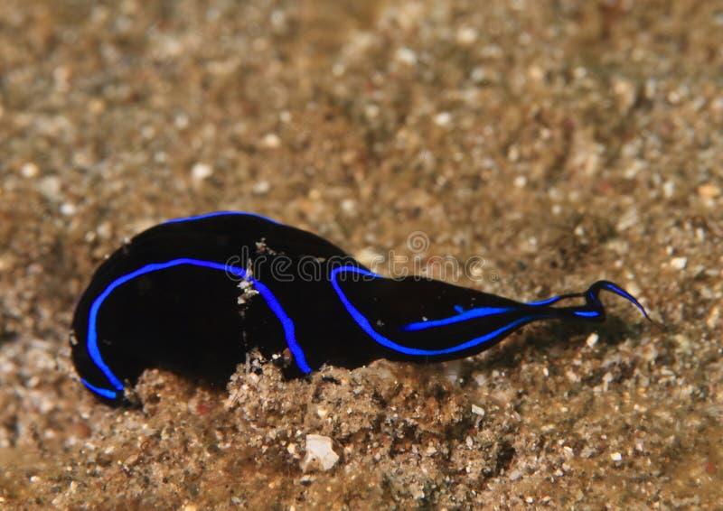 Svart flatworm med blåttkanten royaltyfria foton