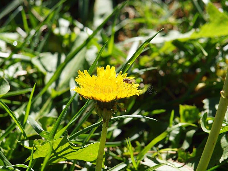 Svart fluga på blomman royaltyfria foton