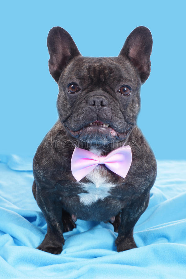 Svart fransk bulldogg med flugan royaltyfri bild