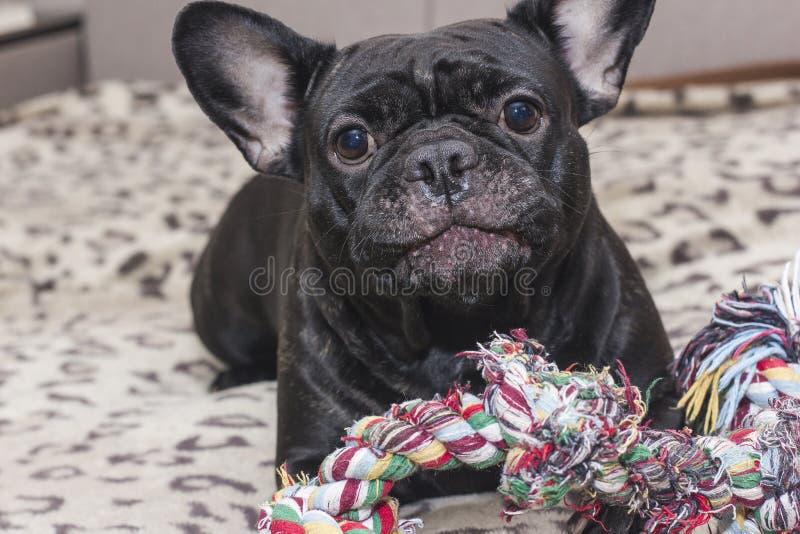 Svart fransk bulldogg som tuggar hundleksaken Lögner på soffan royaltyfri fotografi