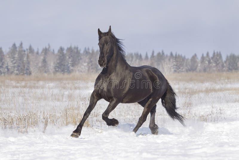 svart frisianhäst royaltyfri bild