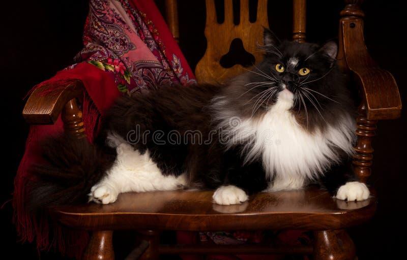 Svart fullblods- Siberian katt som ligger på en stol royaltyfria foton