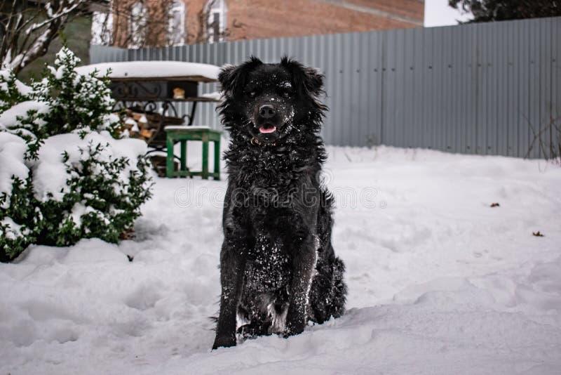 Svart g?rdhund, med lurvigt h?r, apport?r Vinter, frostigt v?der och mycket vit sn? royaltyfria foton