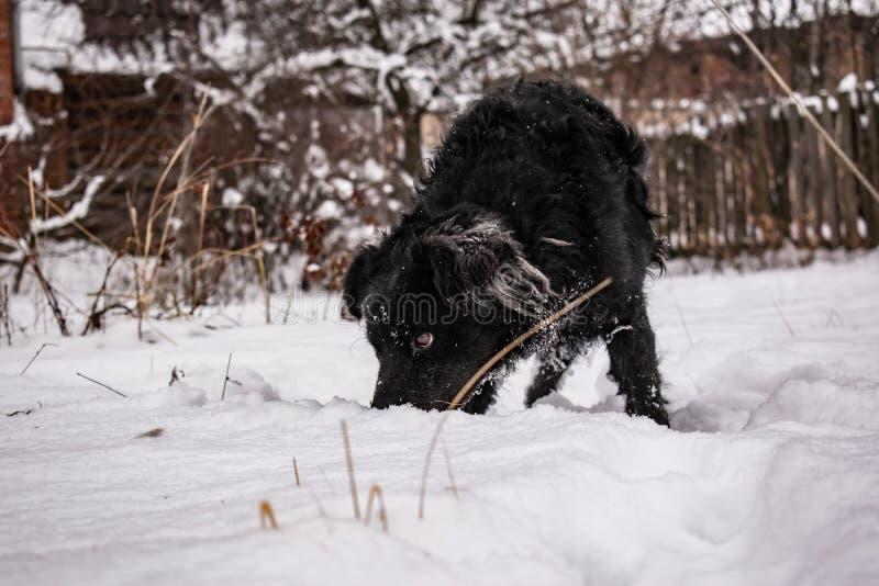 Svart g?rdhund, med lurvigt h?r, apport?r Vinter, frostigt v?der och mycket vit sn? royaltyfria bilder