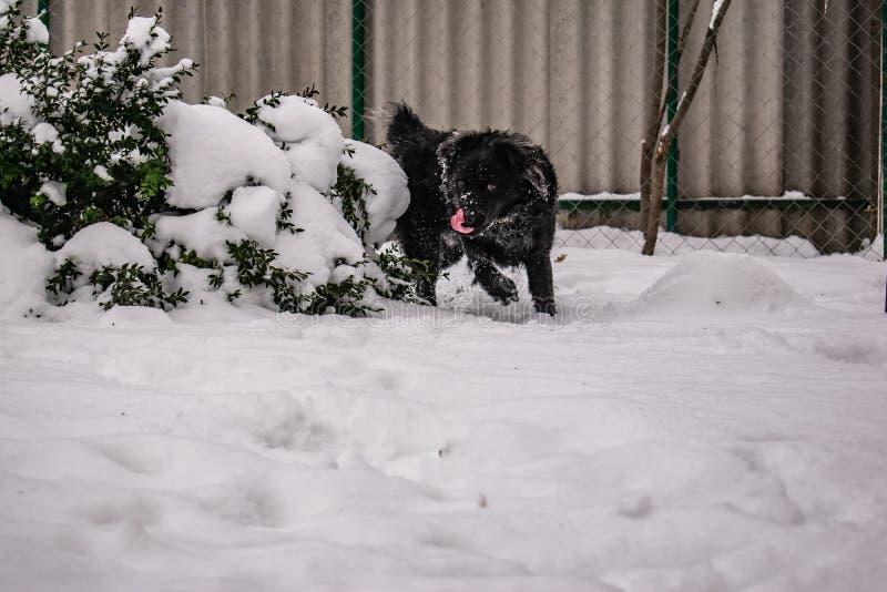 Svart g?rdhund, med lurvigt h?r, apport?r Vinter, frostigt v?der och mycket vit sn? arkivfoto