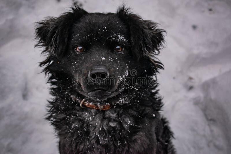 Svart g?rdhund, med lurvigt h?r, apport?r Vinter, frostigt v?der och mycket vit sn? arkivbild
