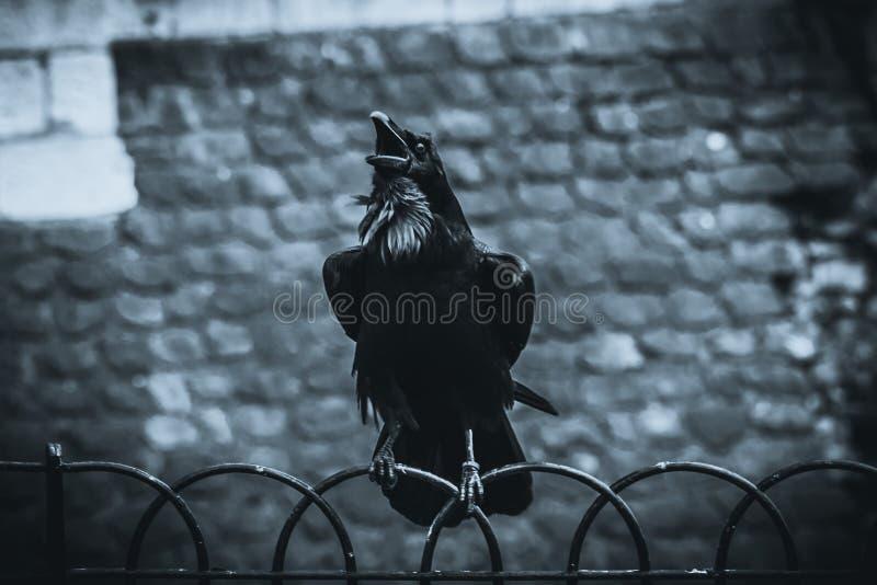Svart galandeanseende på ett staket genom att använda dess brottningar, medan kraxa med gammal tegelstenbakgrund arkivfoto