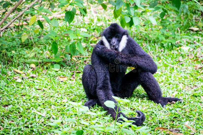 Svart gibbon i zoo royaltyfria foton