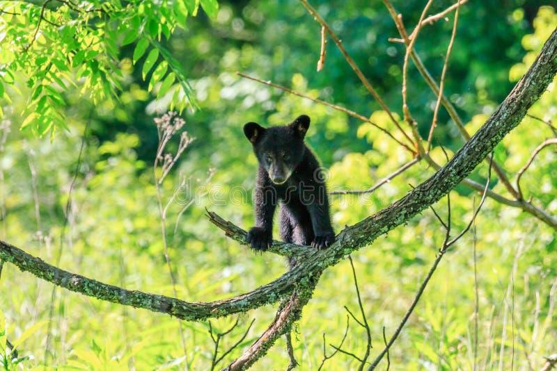 svart gröngöling för björn royaltyfria bilder