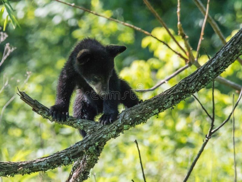 svart gröngöling för björn arkivfoton