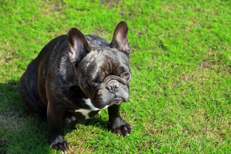 Svart grönt gräs för fransk bulldogg fotografering för bildbyråer