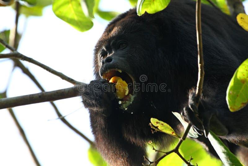 Svart grodaapa som äter en kasjufrukt royaltyfri bild