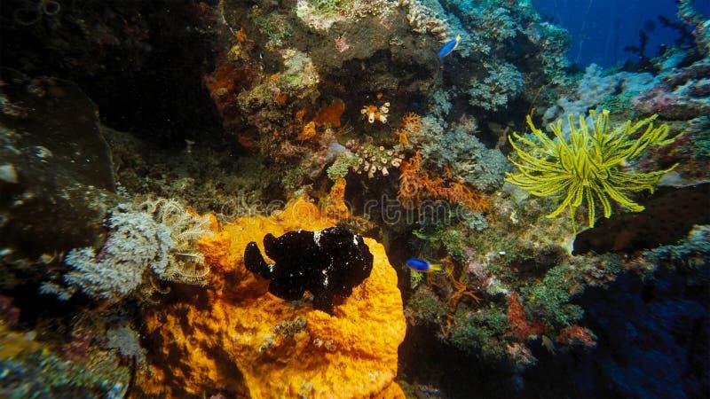 Svart grodafisk Antennarius Maculatus, aka vårtig Frogfish som sitter på en korallrev, Indonesien arkivfoto