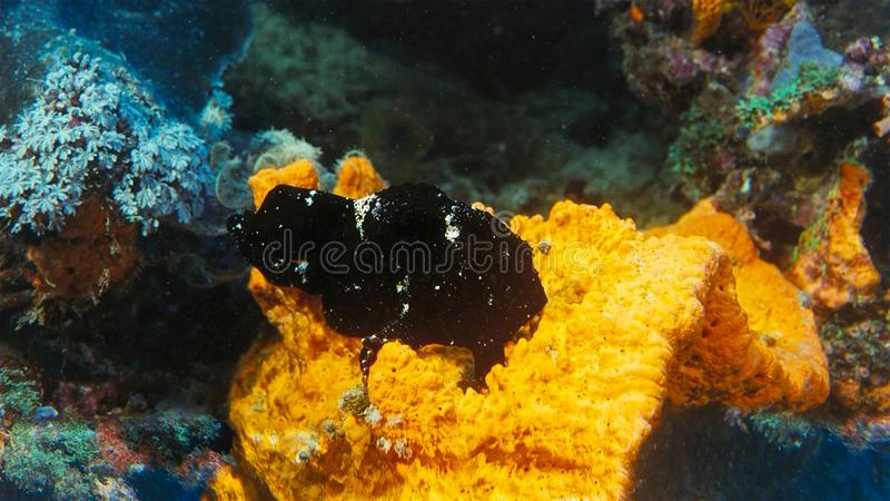 Svart grodafisk Antennarius Maculatus, aka vårtig Frogfish som sitter på en korallrev, Indonesien royaltyfria foton