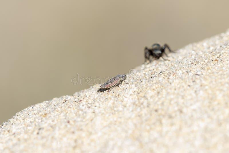 Svart & guld- sammet Ant Wasp Mutillidae Searching för rov royaltyfria foton