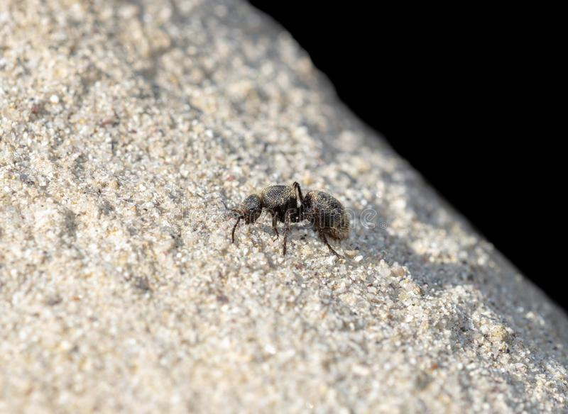 Svart & guld- sammet Ant Wasp Mutillidae Searching för rov arkivfoto