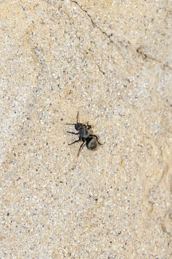 Svart & guld- sammet Ant Wasp Mutillidae Searching för rov royaltyfri foto