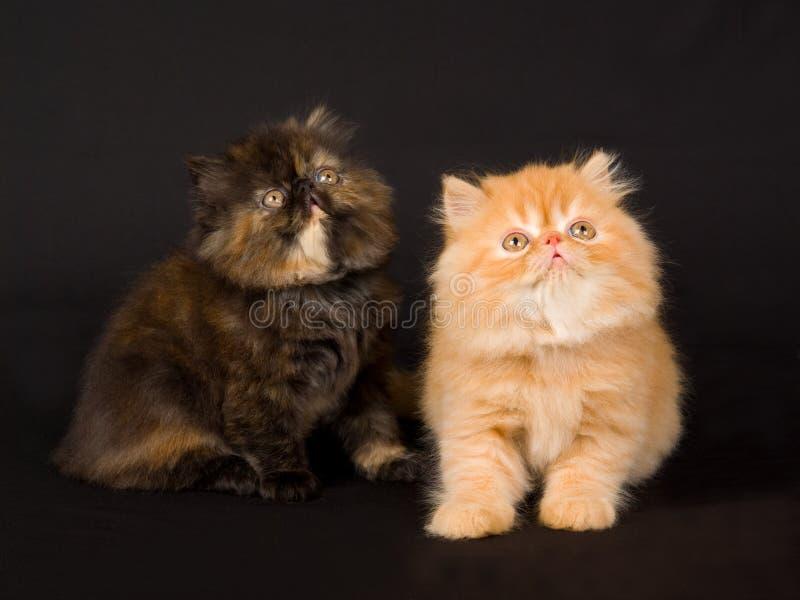 svart gullig nätt kattungeperser för bakgrund royaltyfria bilder