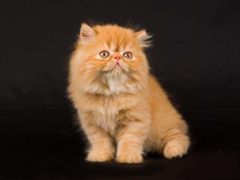 svart gullig nätt kattungeperser för bakgrund arkivbilder
