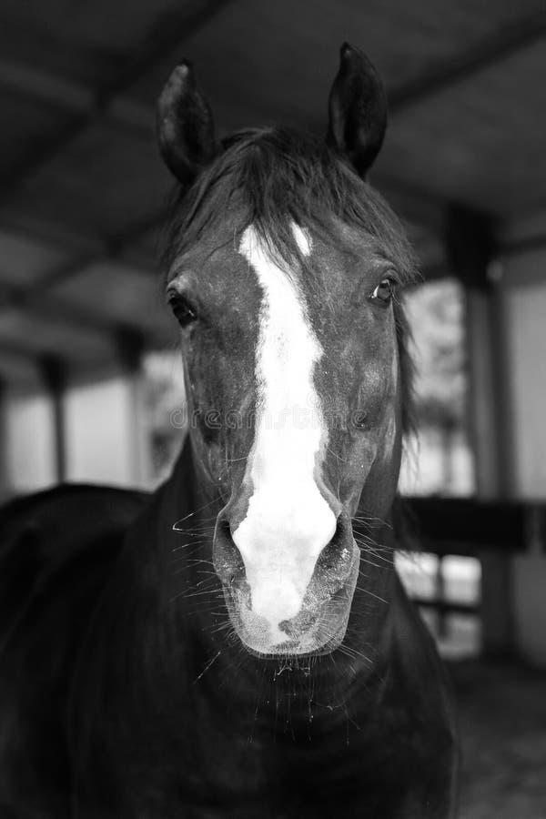 svart häst royaltyfria foton