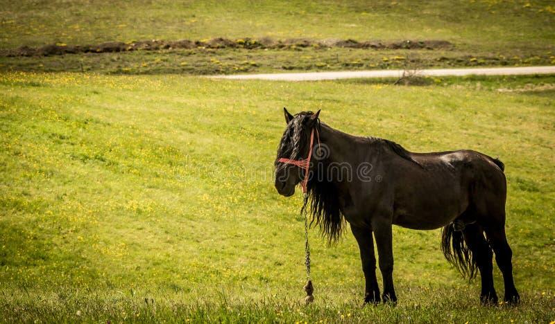 Svart häst i fältet i Zlatibor royaltyfria bilder