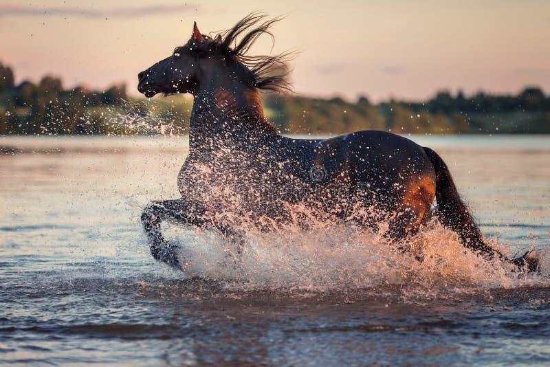 Svart häst som galopperar i vatten på solnedgången arkivfoto