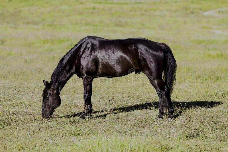 Svart häst som graising i fält royaltyfri bild