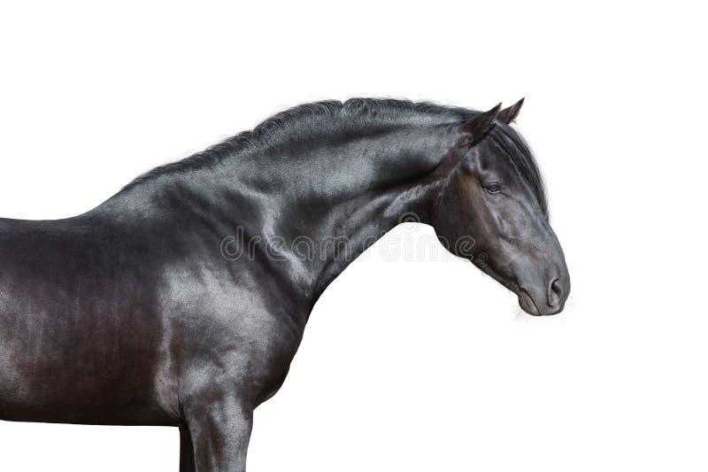 Svart hästhuvud på vit bakgrund arkivbilder