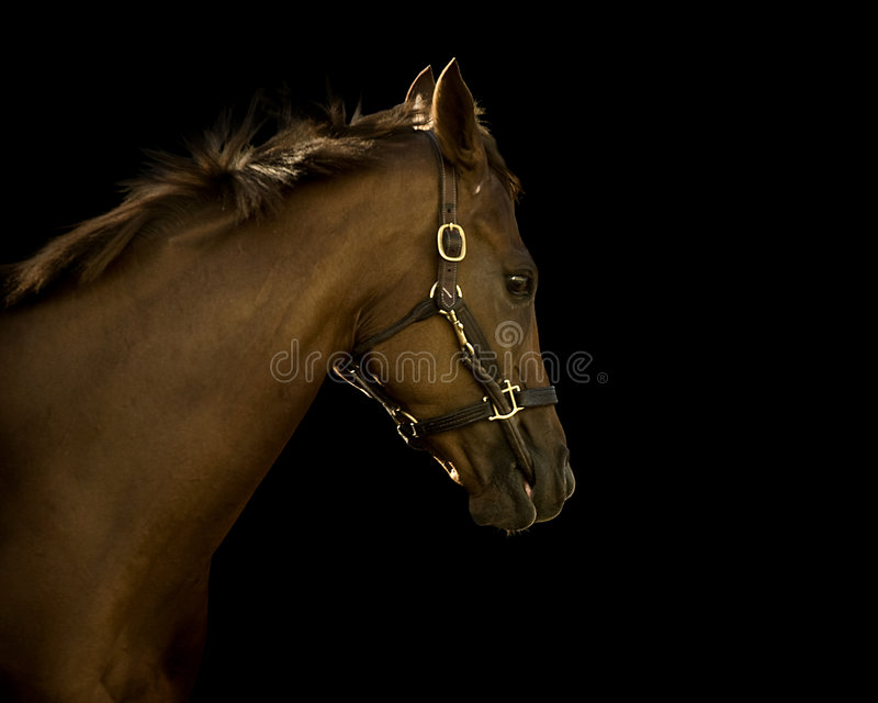 svart hästthoroughbred för bakgrund royaltyfria foton